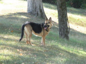 Lucy the German Sheppard